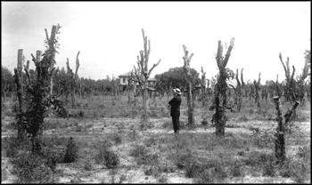 Remains of an orange grove after an 1880s freeze: Caldwell, Florida (ca. 1880s)