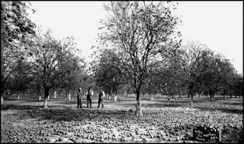 Citrus grove after freeze (1895)