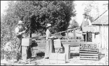 Sizing and packing oranges (ca. 1890)