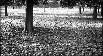 Fallen oranges in Major Foster's grove after 1886 the freeze: Manatee County, Florida (1886)