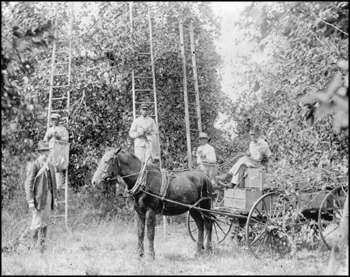 Picking fruit in John C. English's seedling grove: Alva, Florida (ca. 1890s)