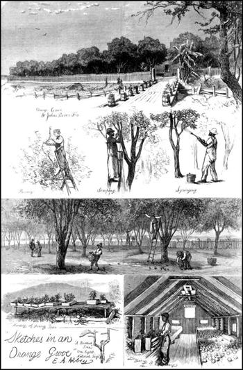 Sketches in an orange grove by E. A. Abbey: Citrus County, Florida (ca. 1875)