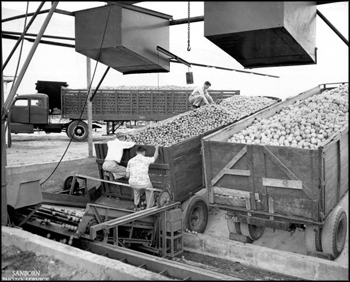 Unloading of Florida fruit at a concentrate plant (1953)