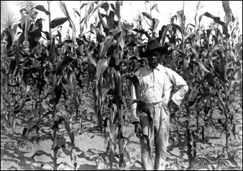 African-American farmer standing in corn field: Alachua County, Florida (June 25, 1913)