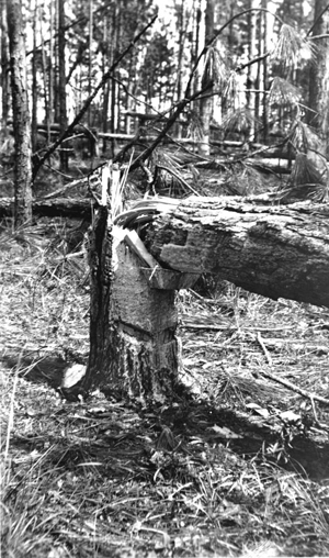 Damage in turpentine tree stand caused by hurricane of Sept. 4, 1935