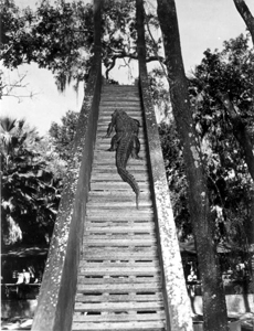 Alligator climbing stairway to sliding board in an alligator farm: St. Augustine, Florida (1948)