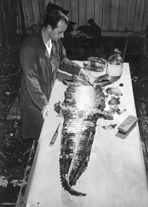 A worker tanning alligator skin at Wild Animal Farm: Saint Petersburg, Florida (1951)
