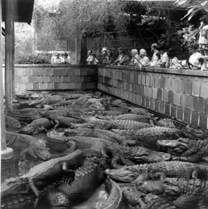 Alligator exhibit at Everglades Wonder Gardens: Bonita Springs, (1975)