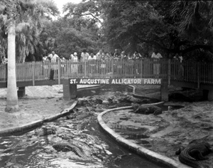 Tourists gawk at alligators at the St. Augustine Alligator Farm: St. Augustine, Florida (1972)
