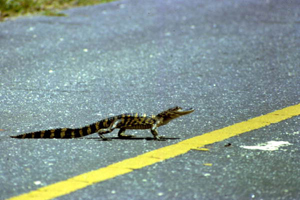 Baby alligator crossing the street in Saint Marks, Florida (1966)