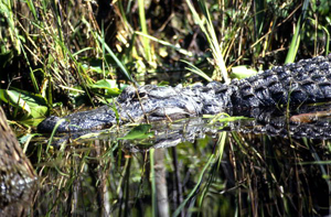 Alligator hunts for prey: Broward County, Florida (1986)
