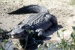 Adult alligator in the Florida Everglades: Broward County, Florida (1971)