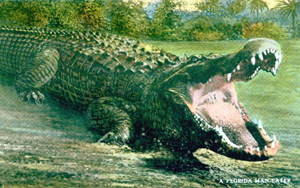 "Postcard of alligator: ""A Florida man-eater"" (19--?)"