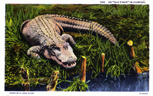 Postcard of a Florida alligator (1937)