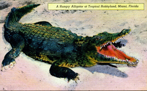 A hungry alligator at Tropical Hobbyland: Miami, Florida (19--?)