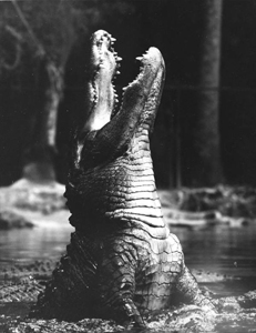 Male alligator bellowing during mating season: Homosassa Springs, Florida (1950s)