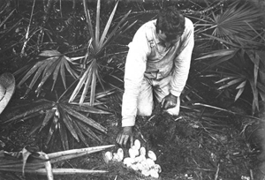 Man inspecting an alligator nest and alligator eggs (19--)