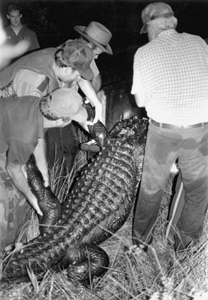 Florida Game and Freshwater Fish officers load alligator carcass: Wakulla Springs, Florida (1987)