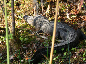 Alligator at the Edward Ball Wakulla Springs State Park (2007)