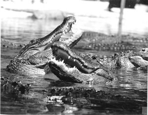Alligators swimming in Florida waters (19--)