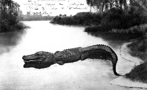 A Florida postcard featuring an alligator (1909)