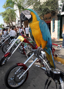 Guard macaw at Key West 2006 Poker Run