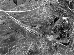 Alligator in the Everglades (1958)