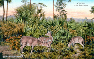 Postcard of wild deer in the Everglades (1950)