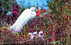 American Egret at Everglades National Park (1974)