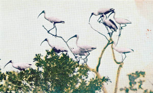 Wood ibises along the Tamiami Trail in the Everglades (n.d.)