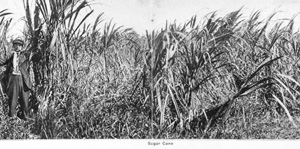 Sugar cane grown in the Everglades of Broward County (ca. 1917)