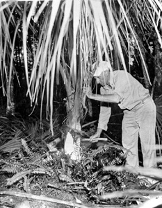 "Harvesting palm for ""swamp cabbage"" (1950s)"