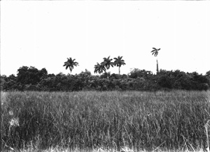 Hammock in the Everglades (1916)