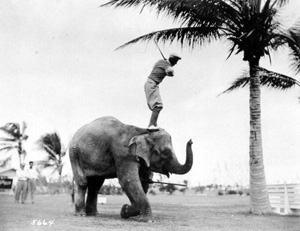 Rosie the elephant being used as a golf tee: Miami Beach, Florida (1927)