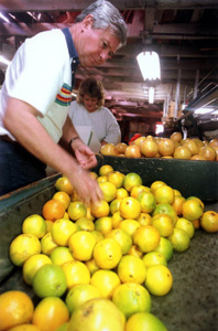 U.S. Senator Bob Graham working as a citrus packer at the Alcoma Packing Company: Lake Wales, Florida (1990)