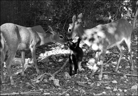 Key Deer licking a cat: No Name Key, Florida (1982)
