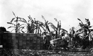 Crated tomatoes and a banana wind break at the Kobayashi farm in Yamato (May 29, 1917)