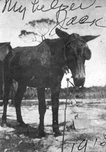 George Morikami's mule: Yamato, Florida (1915)