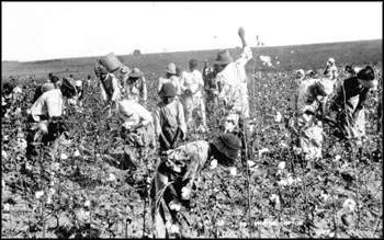 Picking cotton: Jefferson County, Florida (ca. 1890s)