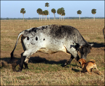 Working cow-dog. Okeechobee, January 2008.