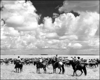 Seminole Indian cowboys herding cattle in the pasture: Brighton Reservation, Florida (1950)