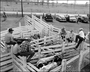 Unidentified men with penned cattle: Kissimmee, Florida (c. 1946)