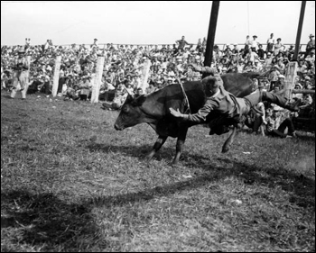 Bull riding at the rodeo: Kissimmee, Florida (1953)
