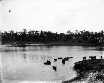 Cattle enjoying a dip in a lake (c. 1910)