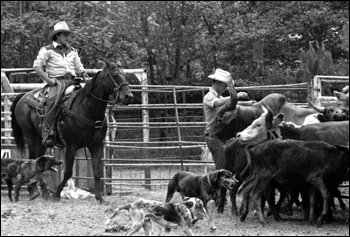 Cowboys and catch dogs herding cattle at the Folk Festival ranching area: White Springs, Florida (1984)