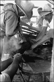 Terry Myers and Ronnie Sylvester castrating, marking, and branding cattle at Buck Island Ranch: Lake Placid, Florida (1984)