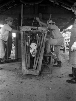 Lloyd McGee, Ronnie Sylvester, and Sarah Childs marking and branding cattle at Buck Island Ranch: Lake Placid, Florida (1984)