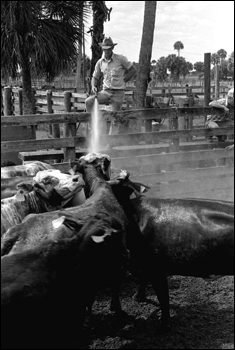 Lloyd McGee spraying cattle with a hose at Buck Island Ranch: Lake Placid, Florida (1984)
