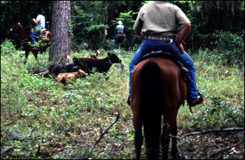 Ronnie Sylvester herding cattle: White Springs, Florida (1984)