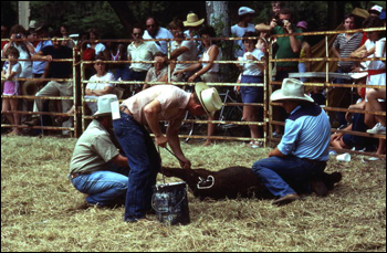 Cowboys branding a cow with paint: White Springs, Florida